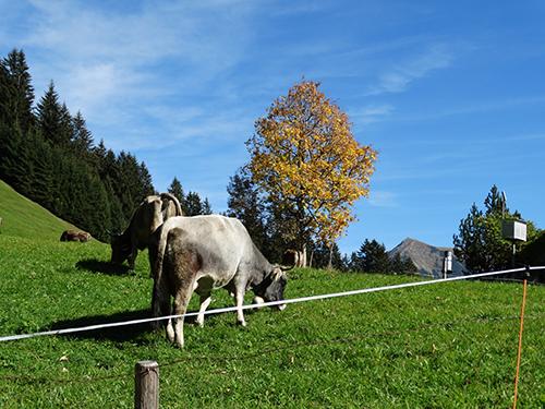 Vieh am Baader Höhenweg